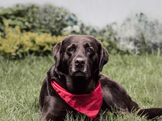 Fotografía de perro Labrador en Bogotá