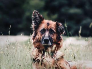 Fotografía de perro en Bogotá en el prado.