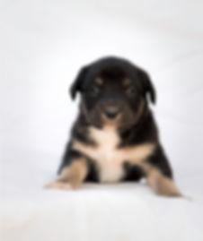 Fotografías de perros en Bogotá. Cachorro. Estudio.