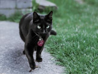 Fotografía de gato en Bogota caminando.