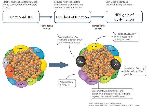 HDL-Function-Fig.1.png