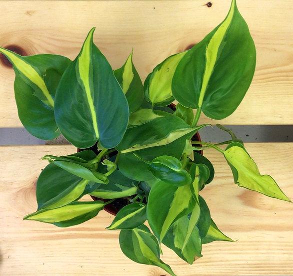 """6"""" Brazil Heartleaf Philodendron"""