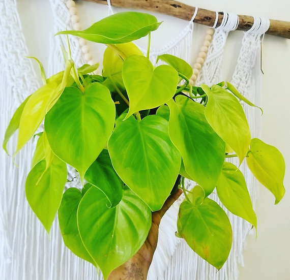 """8"""" Neon Heartleaf Philodendron"""