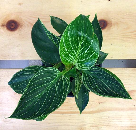 "6"" Philodendron Birken"