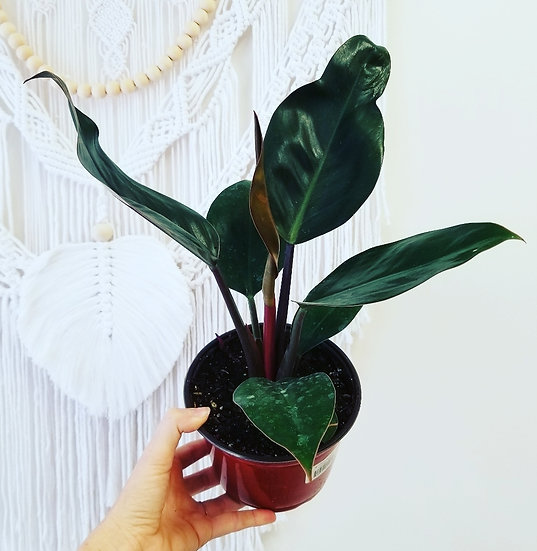 """6"""" Philodendron Congo Red"""