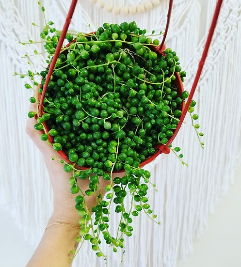 """6"""" String of Pearls"""