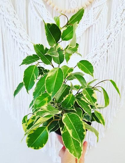 """6"""" Variagated Ficus Benjamina"""