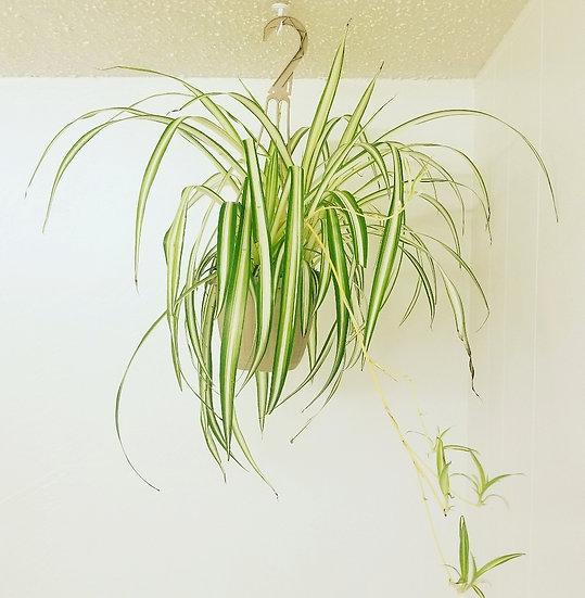 "6"" Large Spider Plant"