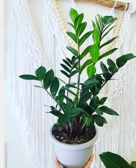 """6"""" Zamioculcas Zamiifolia"""