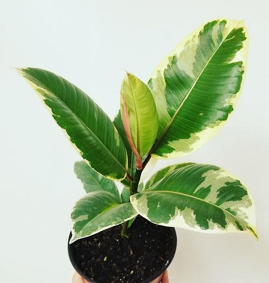 "6"" Ficus-Elastica-Tineke"