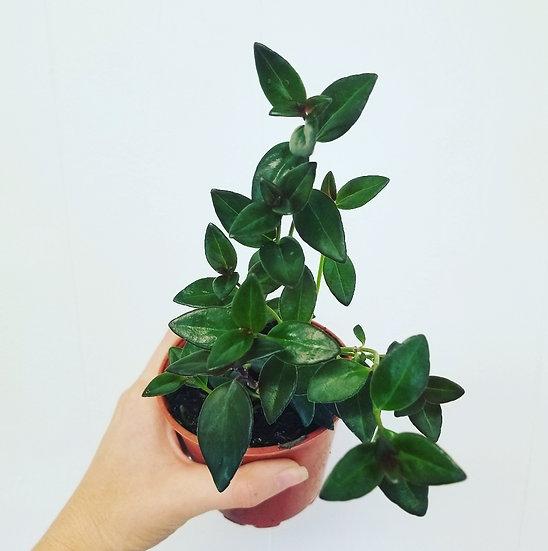 "4"" Goldfish Plant"
