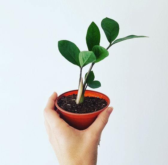"""4"""" Zamioculcas Zamiifolia (small)"""