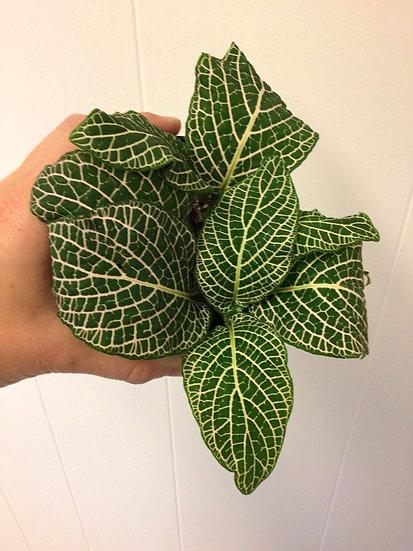 "4"" Silver Fittonia (Nerve Plant) Short"