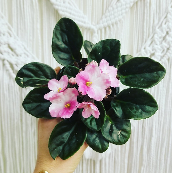 """4"""" Pink and White African Violet"""