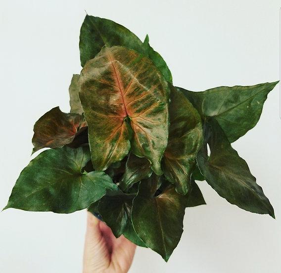 "6"" Arrow Head Plant (red plum)"