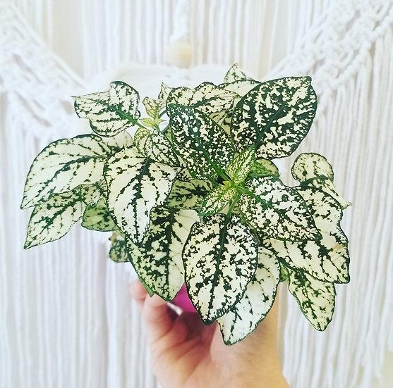"""4"""" White Polka Dot Plant"""
