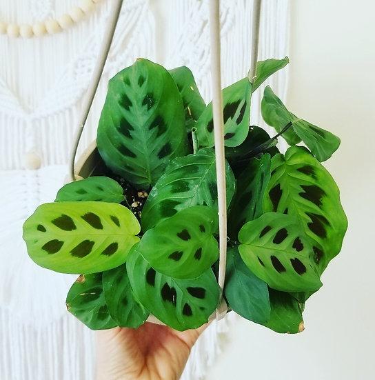 """6"""" Maranta Leuconeura Prayer Plant"""