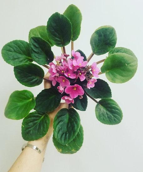 """4"""" Pink African Violet"""
