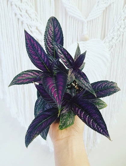 "4"" Persian Shield"