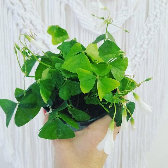 "4"" Oxalis (Green Shamrock)"