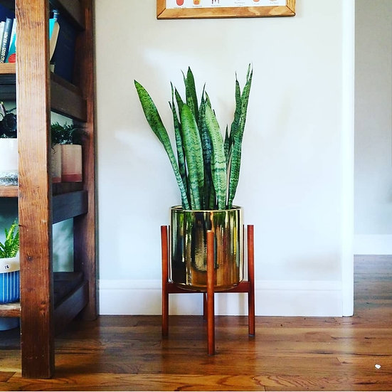 "Sansevieria in Gold 10"" Planter and Stand"