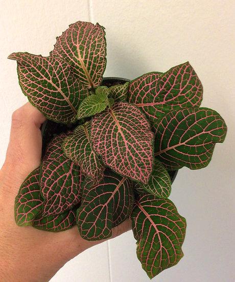 "4"" Pink Fittonia (Nerve Plant) Short"