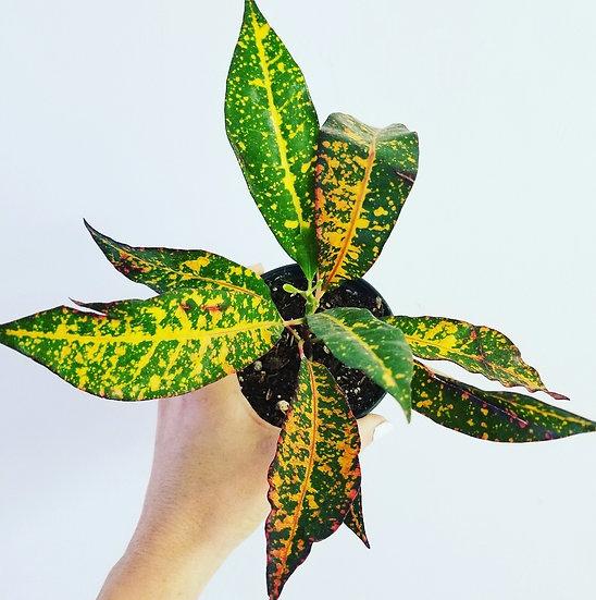 """4"""" Freckles Croton"""