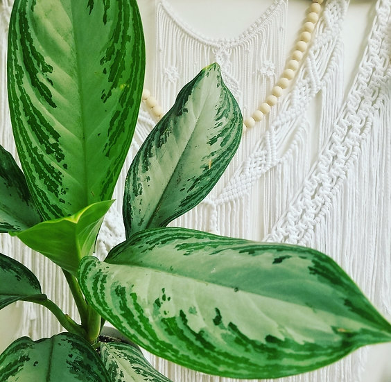 """6"""" Silver Bay Chinese Evergreen"""