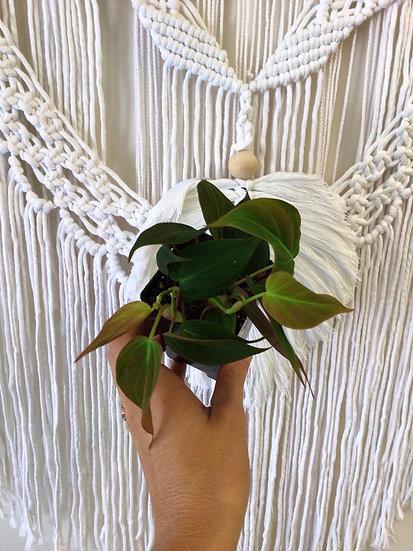 """2.5"""" Philodendron Mican"""