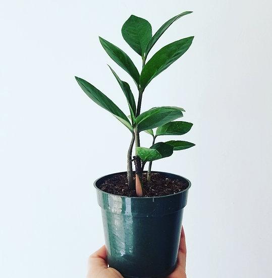 """4"""" Zamioculcas Zamiifolia (Medium)"""