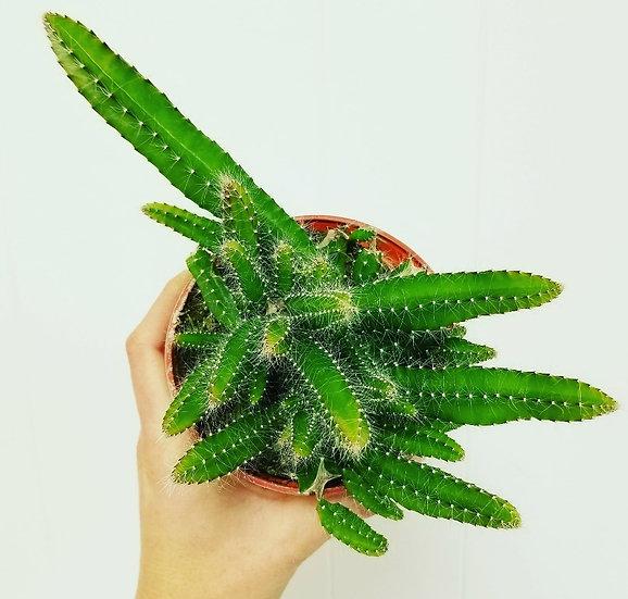 "4"" Puppy Tail Cactus"