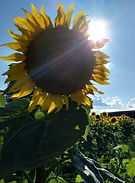 Sunflower and Sun
