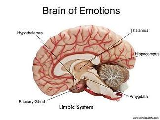 limbic-system-1 (1).jpg