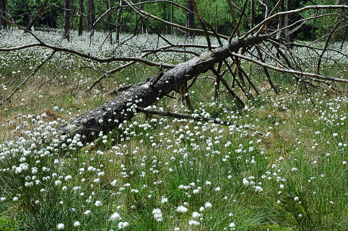 Scheiden-Wollgras (Eriophorum vaginatum L.)