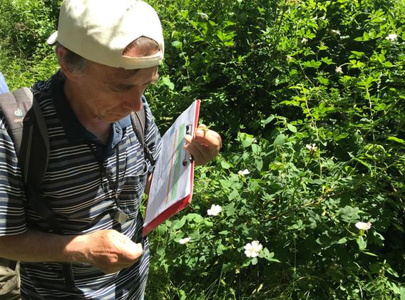 Vor der selten blühenden Feld-Rose (Rosa arvensis Huds.)