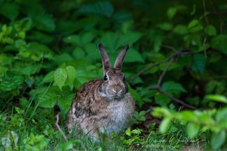 Cottontail Rabbit.jpg