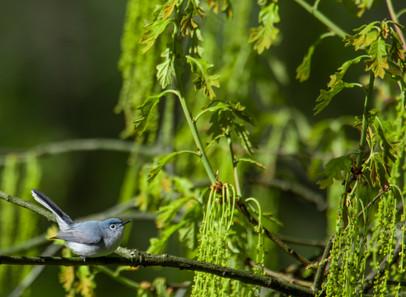 Blue-grey Gnatcatcher Landscape