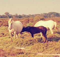 Elevage de chevaux Camargue