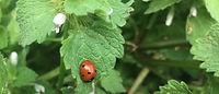 ladybug02.jpg