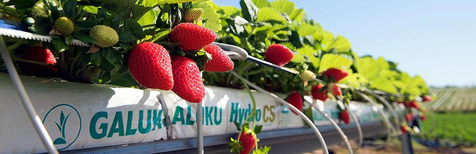 リニアの土で育ったイチゴ