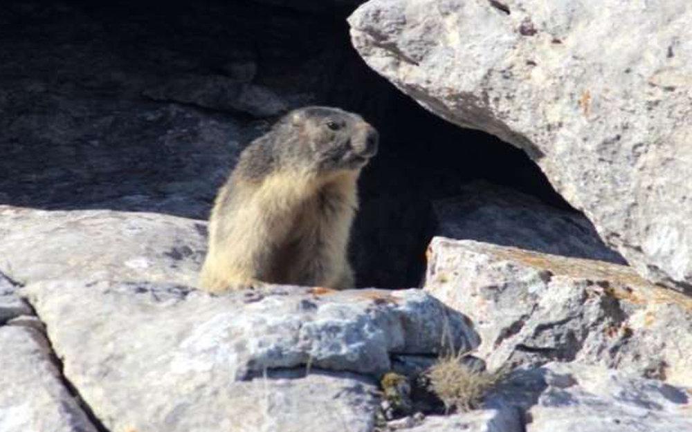 Nocturne avec les marmottes Adultes