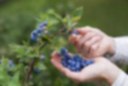 Blueberries on the vine