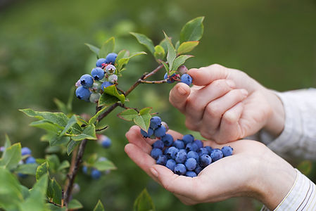 Blueberries on the vine