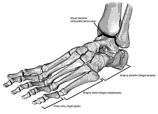 Anatomy of foot