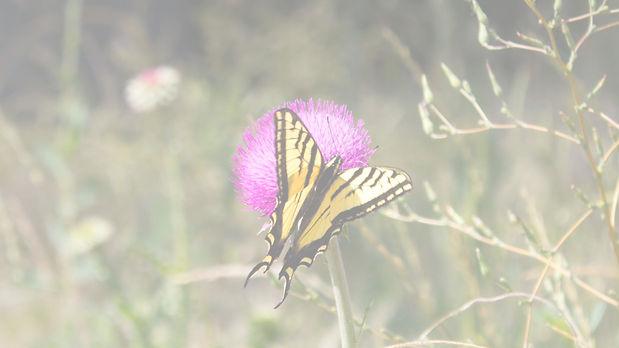 Butterfly in Reno Nevada