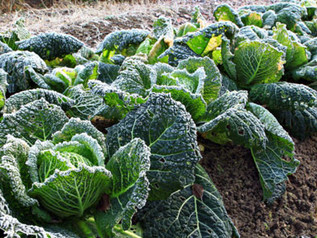 Gardeners Beware! Freezing temps headed back into local forecast