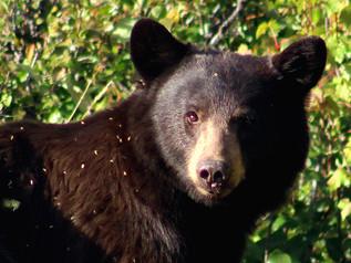 Keeping bears at bay as seasons change