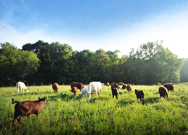 BCF_cows_in_pasture.jpg