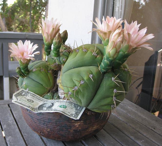 BT_cactus_intermediate_gymnocalyciumBuen