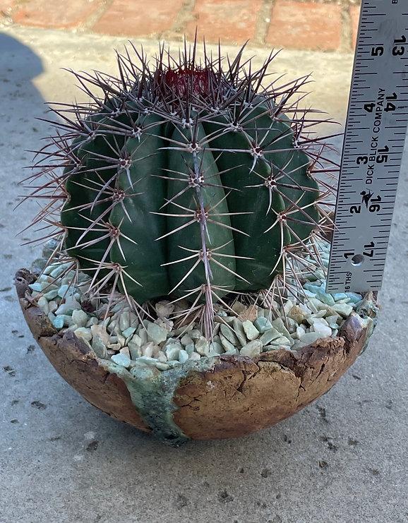 BT_cactus_novice_melocactusMatanzanus3.j